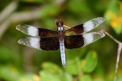 Extensión masculina madura de las alas de la libélula de la desnatadora de la viuda Fotos de archivo