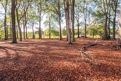 Extensive beech forest at the end of the summer season. At the edge of an extensive beech forest at the end of the Dutch summer season. Due to the prolonged royalty free stock image