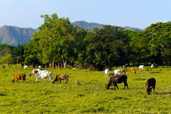 Extensive cattle farming in tropical climate. Of Costa Rica (Guanacaste region Stock Photo
