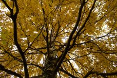 An extensive crown of an autumn tree with yellow leaves Royalty Free Stock Photos