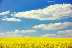 Extensive field of rapeseed. With blue sky in the background. Intensive agricultural production, fuel dependency, agriculture and energy industry concept Stock Image