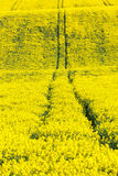 Extensive field of rapeseed stock photos