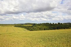 Green wheat and woodland Stock Photography
