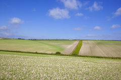 Extensive pea crops Royalty Free Stock Photography