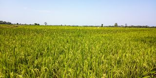 Extensive rice fields royalty free stock photography