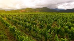 Extensive vineyard rows, farming and agriculture, family business, countryside. Stock photo stock photos