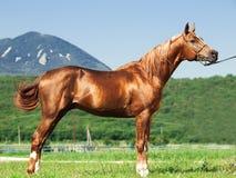 Exterior of arabian chestnut  stallion at  mountain background Stock Image