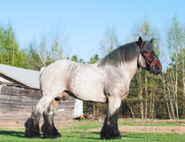 Exterior of  Belgian draught horse. Stock Photography