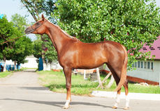 Exterior of chestnut arabian filly Stock Photos