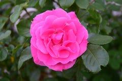 Exterior color de rosa hermoso en el jardín del verano Foto de archivo libre de regalías