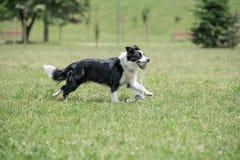 Exterior corriente del perro del border collie en el parque Foco selectivo Foto de archivo