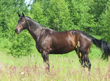 Exterior da égua preta bonita Imagens de Stock