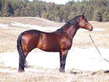 Exterior do cavalo do trakehner Fotografia de Stock
