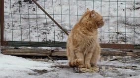 Exterior perdido rojo de los gatos en invierno almacen de metraje de vídeo