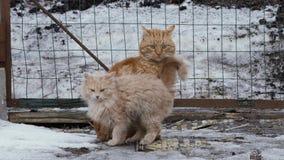 Exterior perdido rojo de los gatos en invierno metrajes