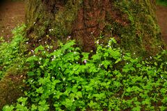 Pacific Northwest rainforest and Trillium plants royalty free stock photography
