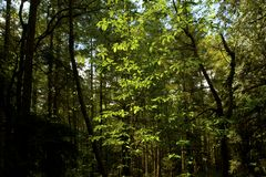 Pacific Northwest forest and Ash tree Stock Image