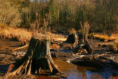 Pacific Northwest forest and conifer tree stumps Stock Photos