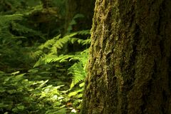 Pacific Northwest forest and Douglas fir tree Royalty Free Stock Photography