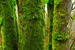 Pacific Northwest forest and old growth Big leaf maple trees. A exterior picture of an Pacific Northwest Washington state forest with old growth Big leaf maple royalty free stock photo
