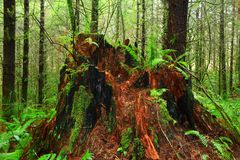 Pacific Northwest forest and old growth cedar tree stump Stock Photos