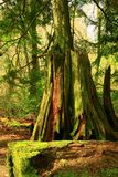 Pacific Northwest forest Stock Image