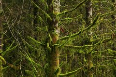 Pacific Northwest forest and Shoreline pines. A exterior picture of an Pacific Northwest Washington state forest with Shoreline pines Stock Photo