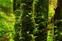 Pacific Northwest forest and Vine maple trees. A exterior picture of an Pacific Northwest Washington state forest with Vine maple trees and ferns royalty free stock photos