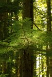 Pacific Northwest rainforest and Douglas fir trees Stock Photography
