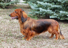 Exterior of a red long haired dachshund. Standing on lawn stock images