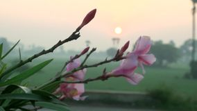 Shift focus shot of pink flowers to sunrise,. Exterior shot Shift focus shot of pink flowers to sunrise stock video