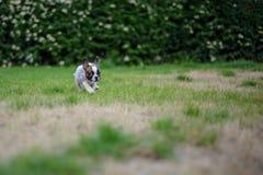 Exterior solo del pequeño perrito del dogo en naturaleza Pequeño amigo lindo Foto de archivo