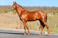 Exterior of sorrel horse. Exterior of beautiful sorrel sportive horse Stock Photo