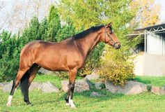 Exterior of sportive warmblood horse posing against pine trees.  stock photography