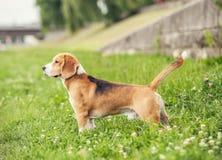 Exterior standing beagle Stock Photos
