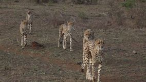 Exterior video cheetah family walking stock footage