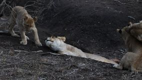 Exterior video of a lion pride interacting stock video footage