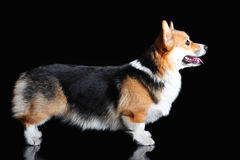 Exterior of Welsh Corgi Pembroke, isolated on black Royalty Free Stock Photo