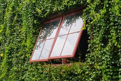 Exterior window vine tree covers building. Architecture royalty free stock photography