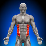 External Oblique - Anatomy Muscles Royalty Free Stock Image