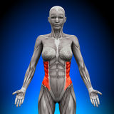 External Oblique - Female Anatomy Muscles Royalty Free Stock Photos