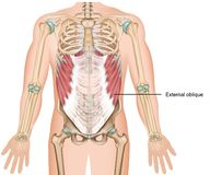 External oblique muscle 3d medical  illustration upper abdominal muscle. Eps 10 vector illustration