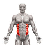 External Oblique Muscles - Anatomy Muscles isolated on white - 3 Stock Images