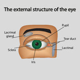 The external structure of the eye. Vector Royalty Free Stock Images