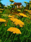 A extinção das abelhas Fotografia de Stock Royalty Free