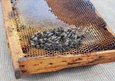 A extinção de abelhas do mel Os apicultor têm observado que suas populações da abelha têm morrido fora foto de stock