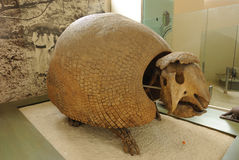 Extinct Armadillo. Glyptotherium, a extinct mammal related to the armadillo, on display at the American Museum of Natural History in New York City Stock Image