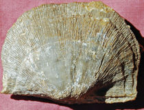 Extinct fossil brachiopod Atrypa rerticularis. Royalty Free Stock Photo