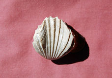 Extinct fossil Brachiopod Rhynchonella uta. Stock Images
