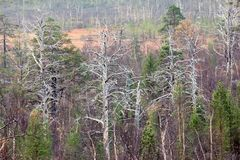 Extinction of old forest (centennial pine) as result of air poll. Ution from metallurgical industries, anthropogenic impact Royalty Free Stock Photography